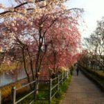 2013年五条大橋・鴨川遊歩道の桜